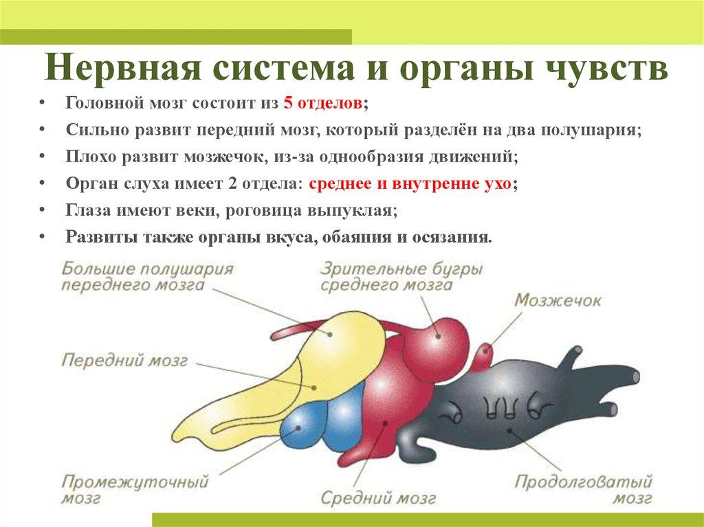 нервная система и органы чувств Наплыв