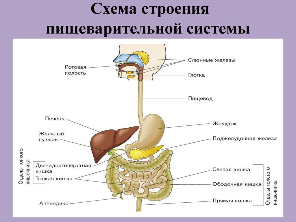 Шпаргалки строение и функции органов пищеварения