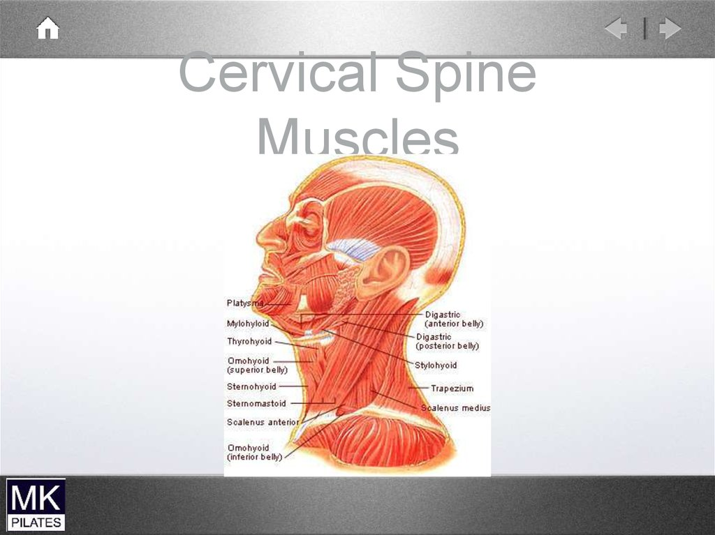 Cervical Spine Muscle Anatomy Gallery - human body anatomy