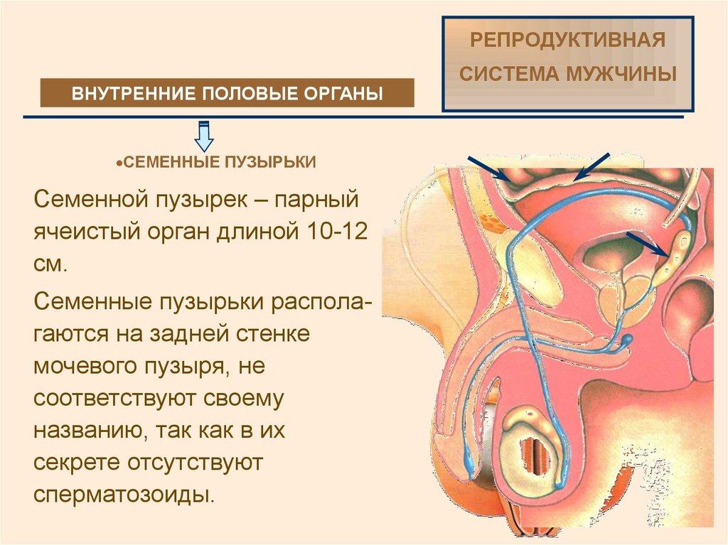 Из сперматозоидов секрета предстательной железы семенных