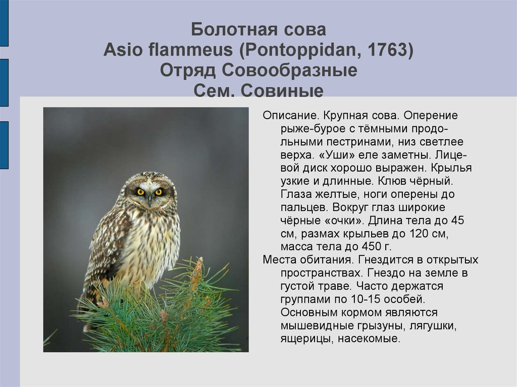 Сова птица фото и описание