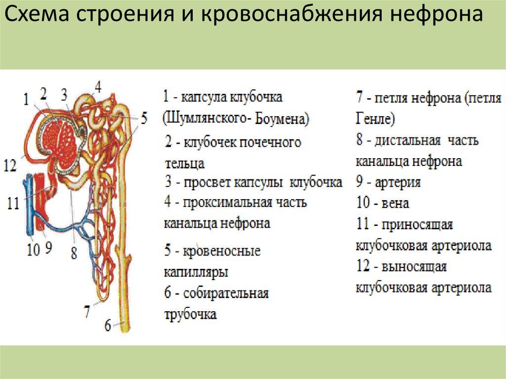 структура нефрона картинка нет