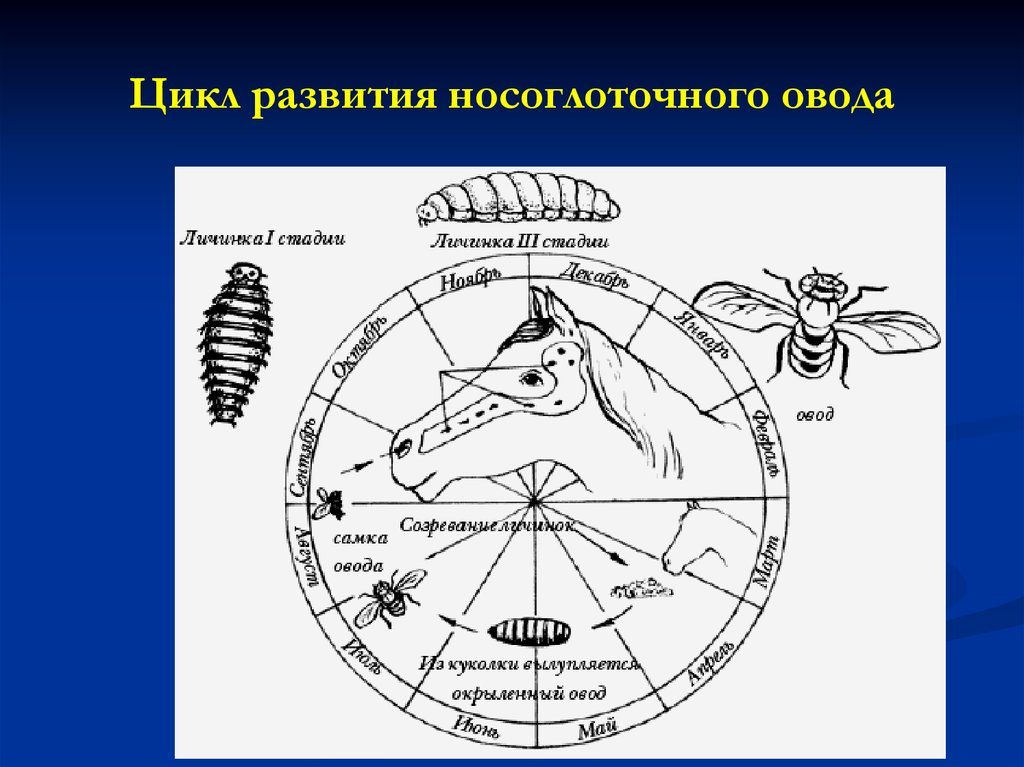 мухи паразиты человека