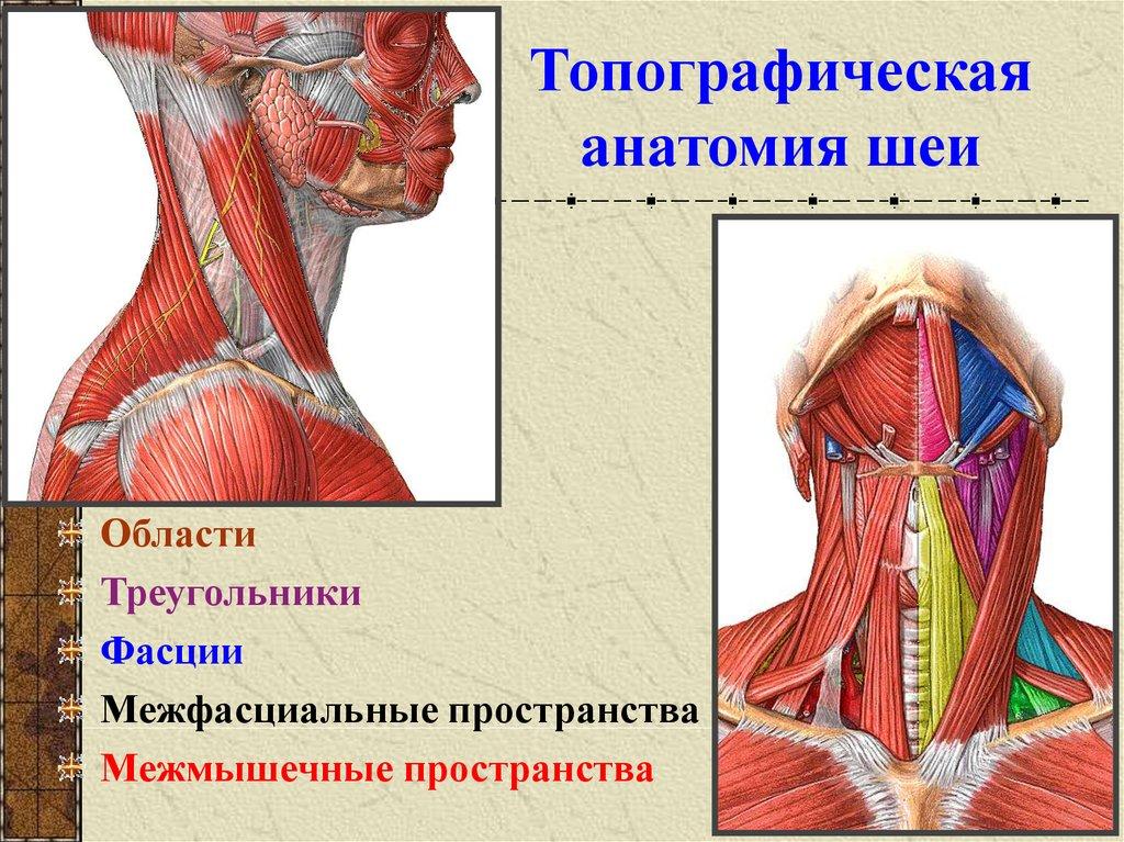 Картинки шеи анатомия
