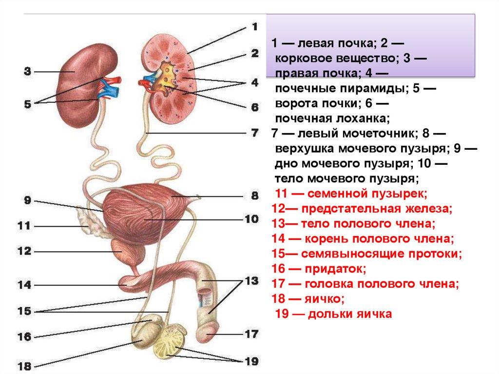 Женские внешние половые органы сперма