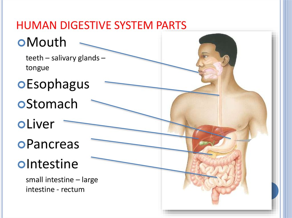 HUMAN DIGESTIVE SYSTEM PARTS