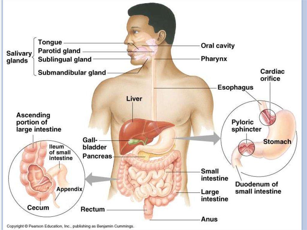Human digestive system - online presentation