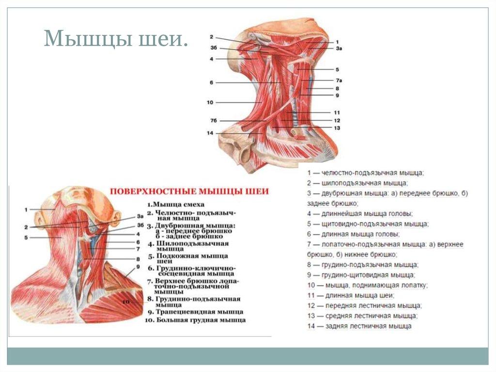 мышцы шеи фото с описанием и схемами