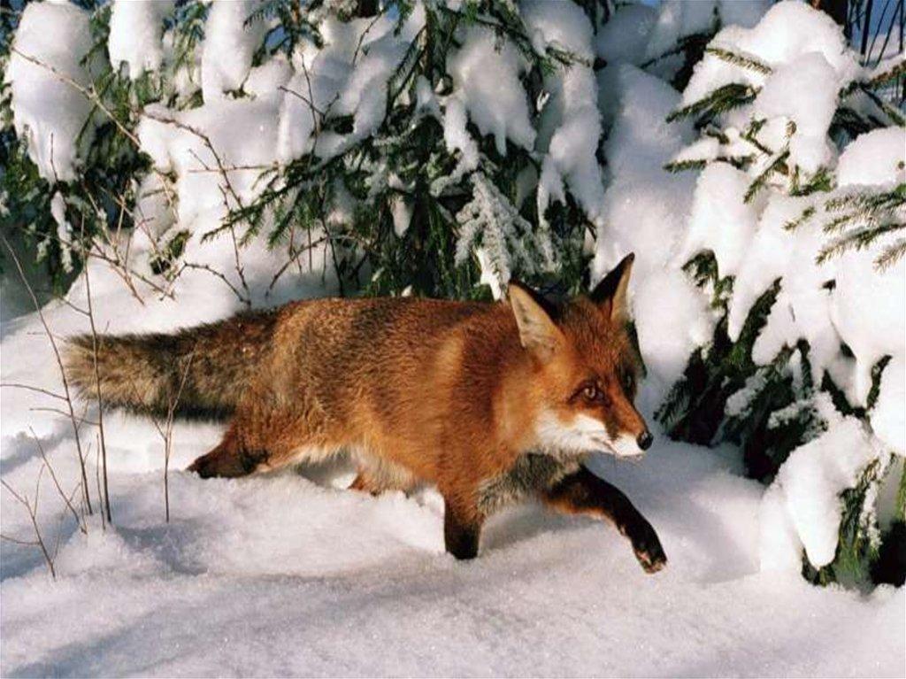 картинки животных в лесу зимой отличие блестки