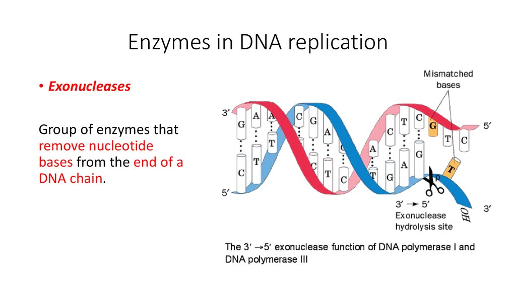 errors in dna replication Dna replication - for replication, cells depend on a process known as dna replication where did this elegant mechanism come from did it arise by naturalistic means.