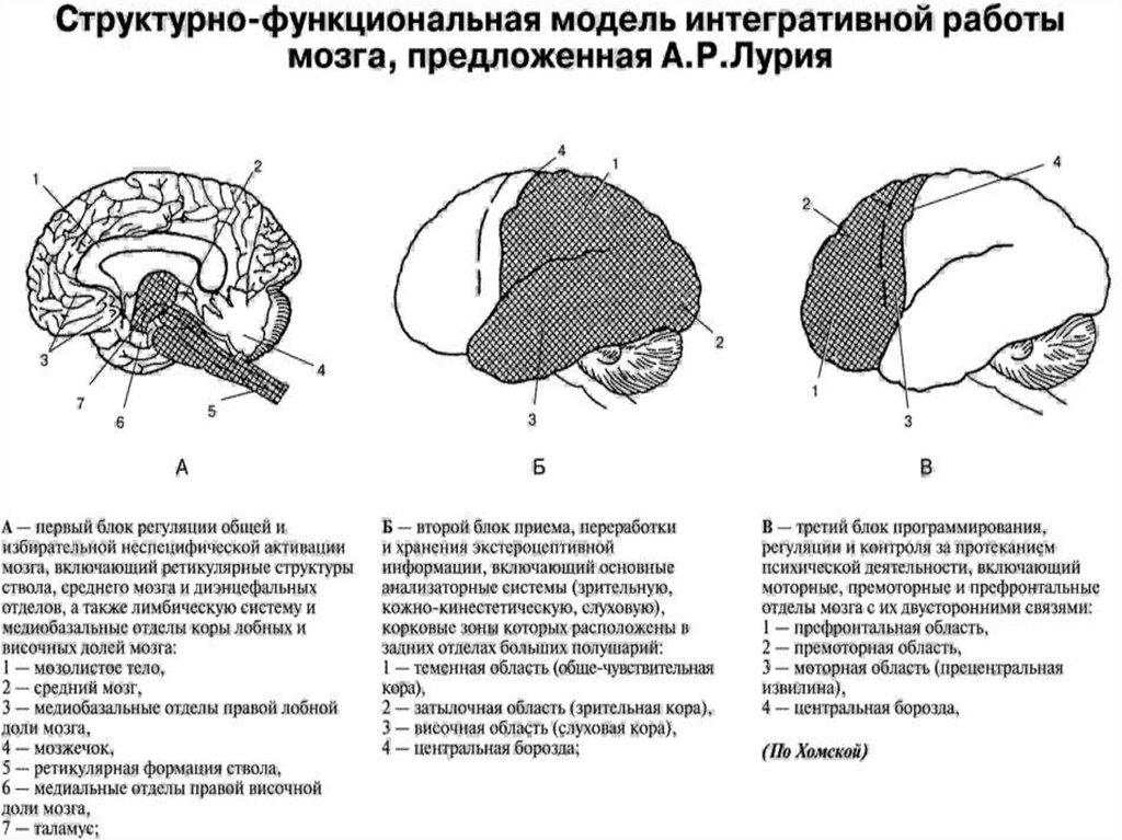 девушка модель работы мозга лурия