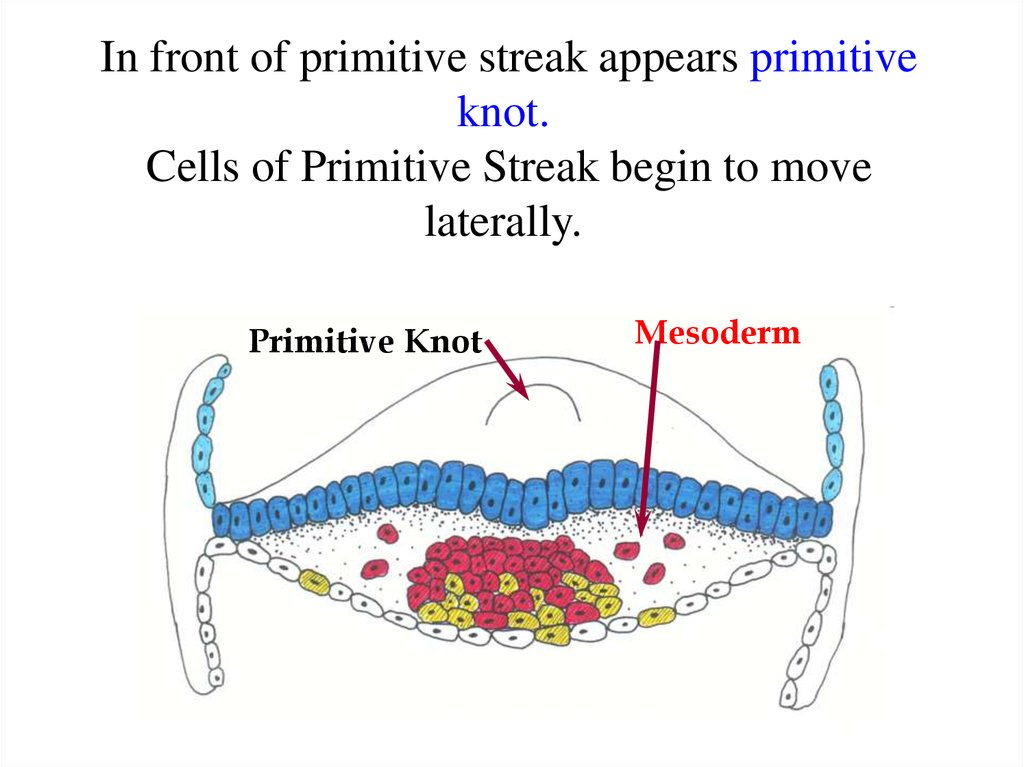 In front of primitive streak appears primitive knot. Cells of Primitive Streak begin to move laterally.