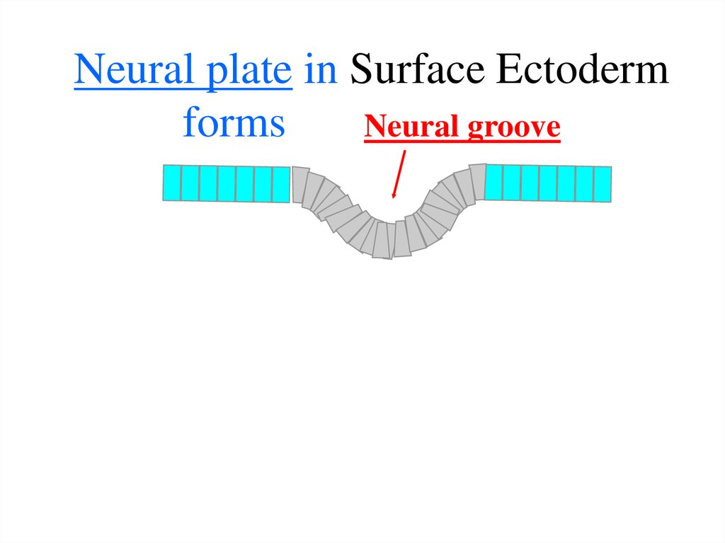 Neural plate in Surface Ectoderm forms Neural groove