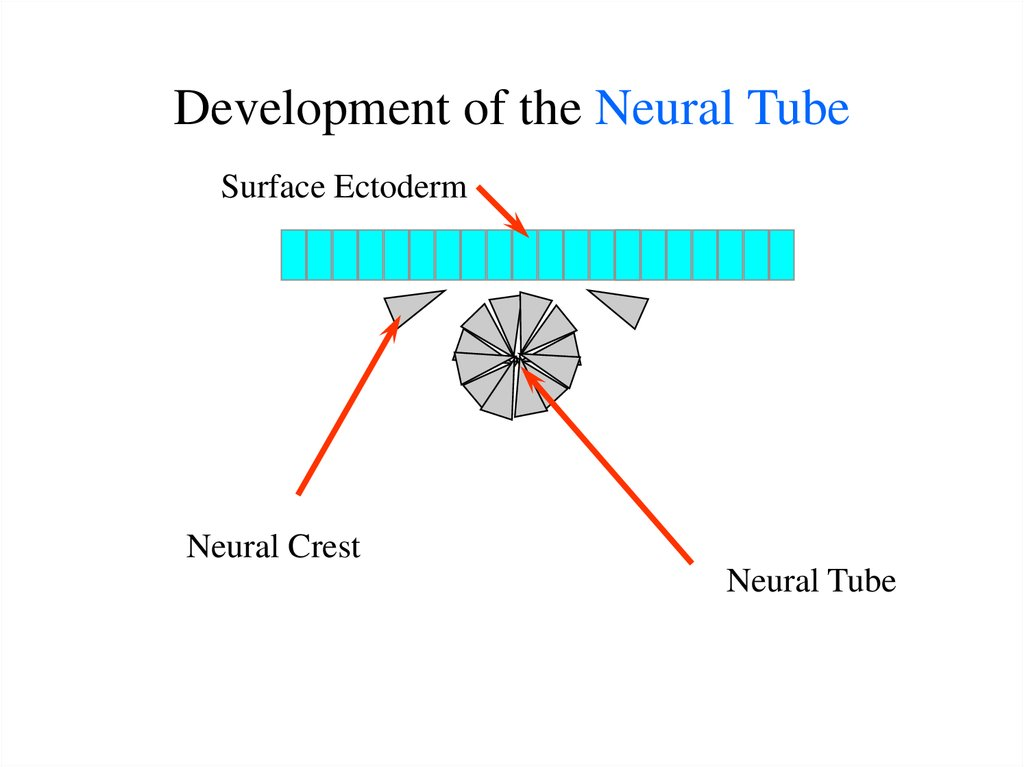 Development of the Neural Tube