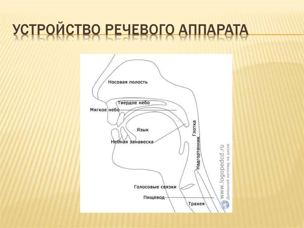 схема речевого аппарата человека рисунок