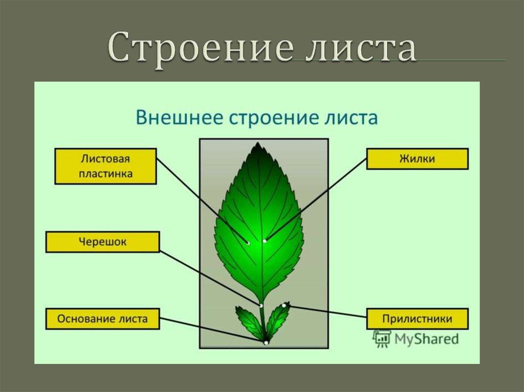 лист и его строение