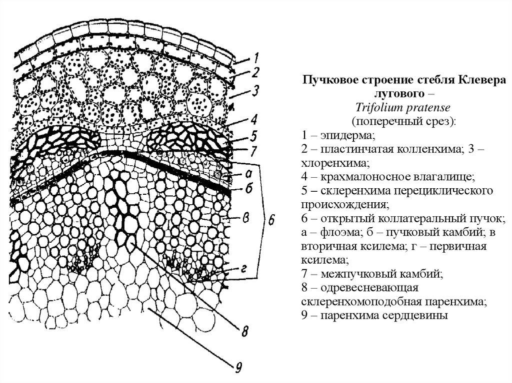 Вторичное строение стебля двудольных