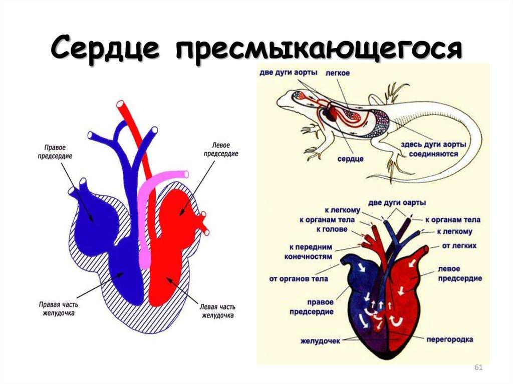 Строение сердца пресмыкающегося картинки