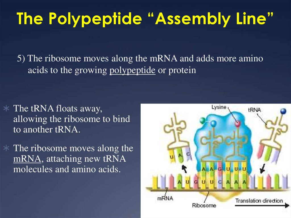"The Polypeptide ""Assembly Line"""