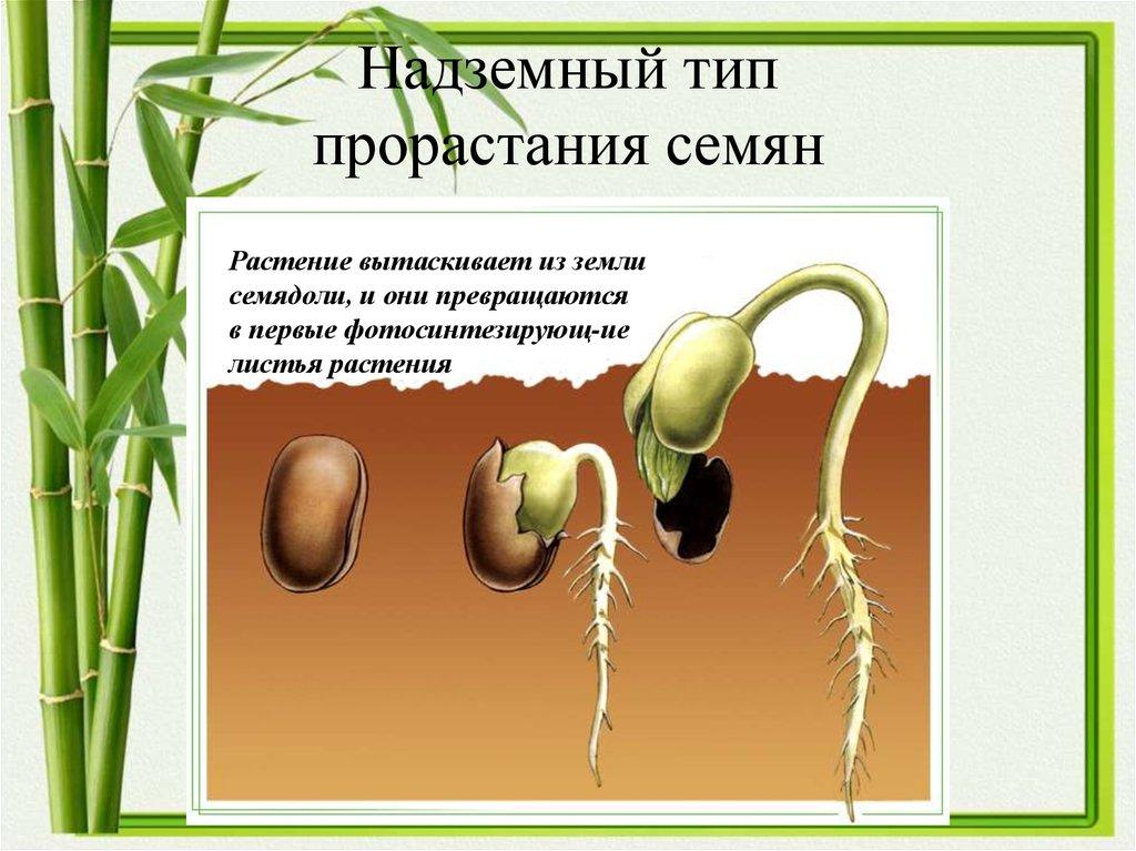 спустил картинка как развивается растение из семени фото классическая гостиная
