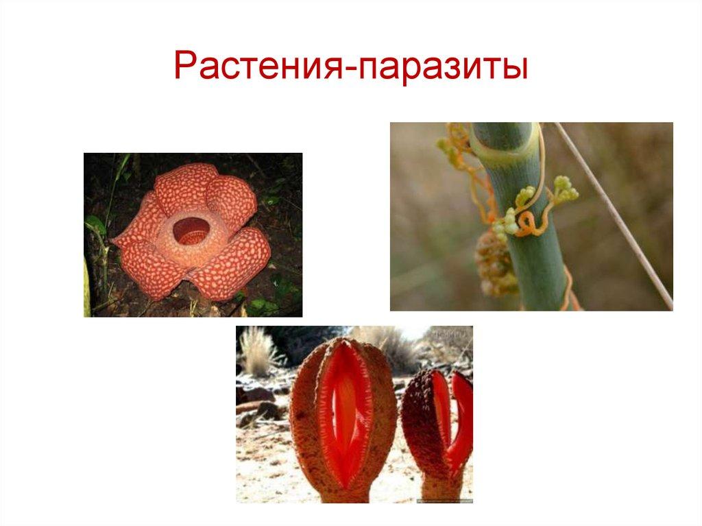 Паразиты растения картинки