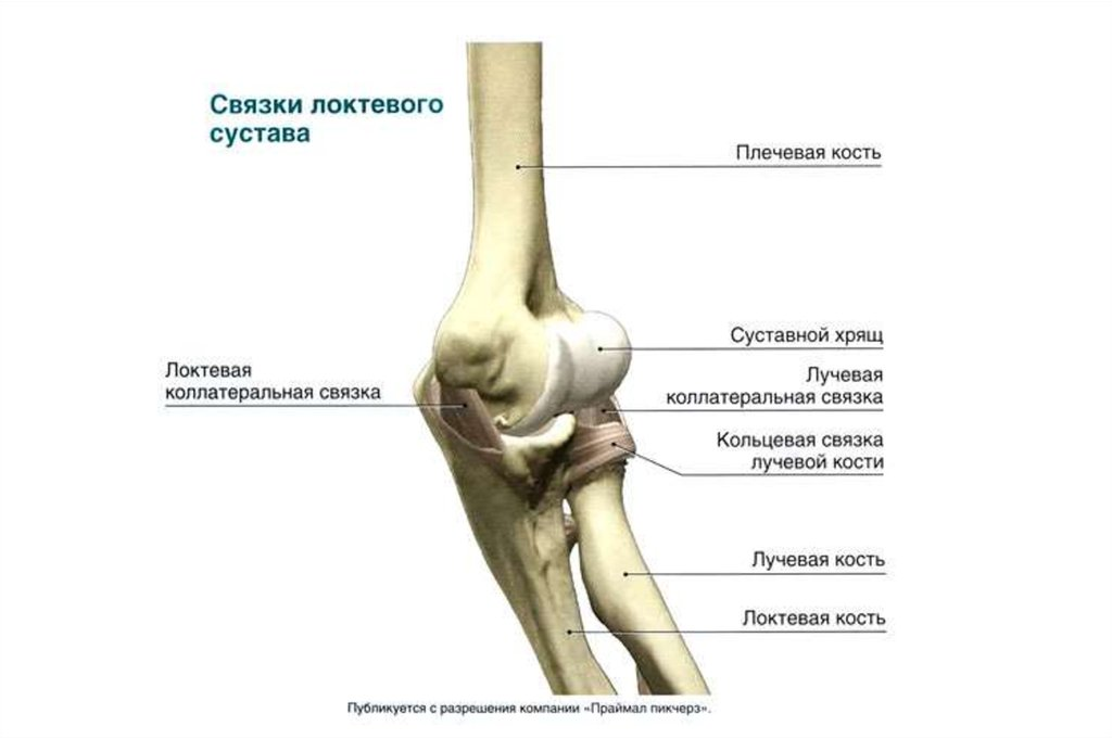 Функциональные мышцы локтевого сустава остеоартроз локтевого сустава симптомы лечение