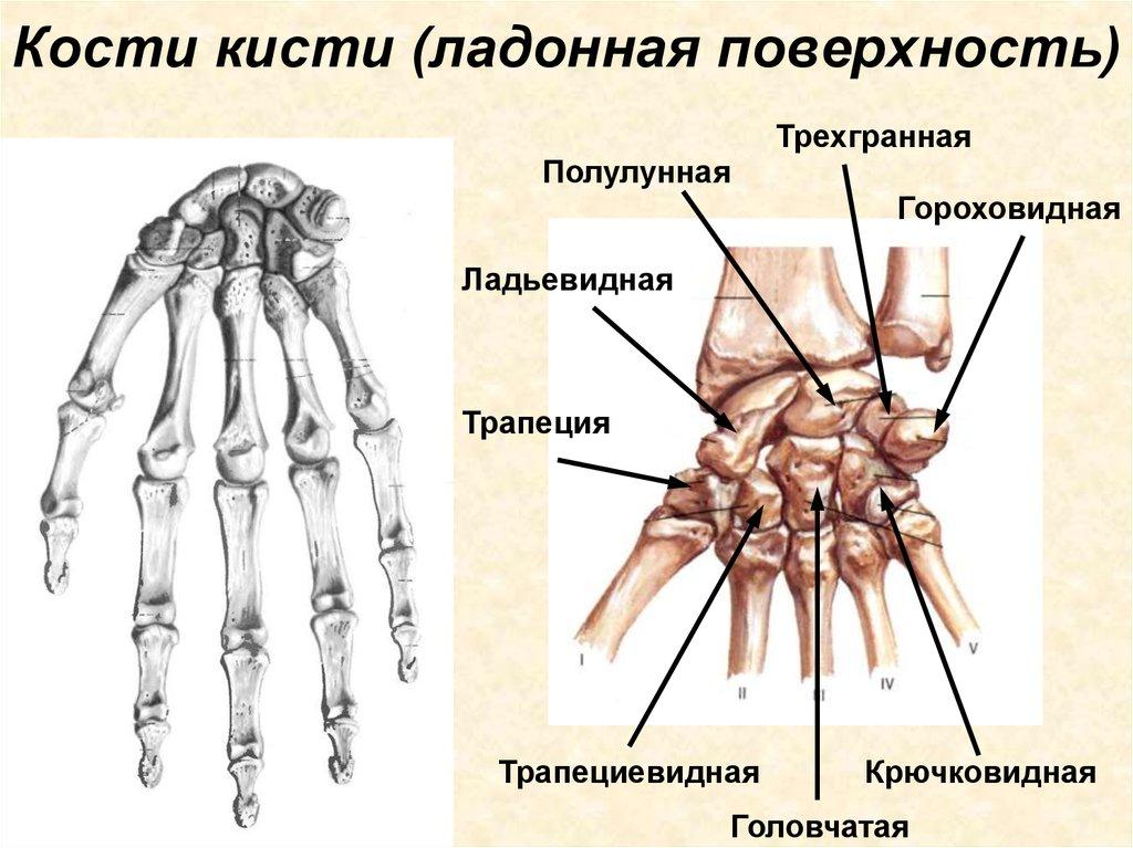 Картинка кости запястья