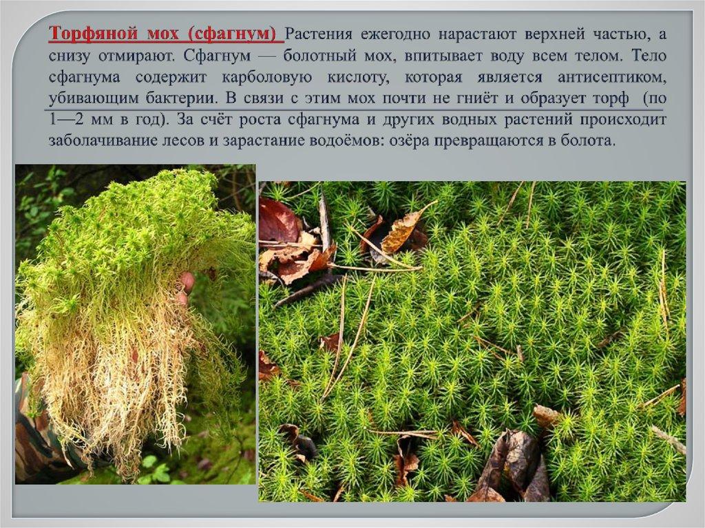 Фото и описание мхов в сосновых лесах