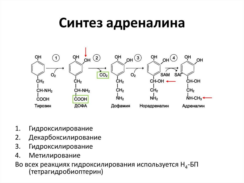 синтез катехоламинов картинки