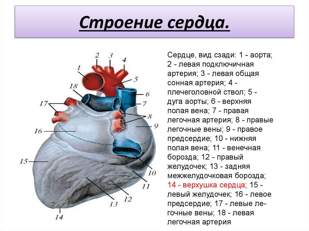Сердце человека картинки с надписями, картинки