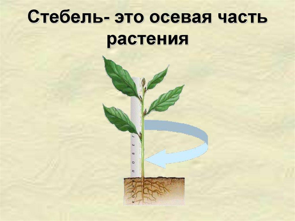 Значение стебля это