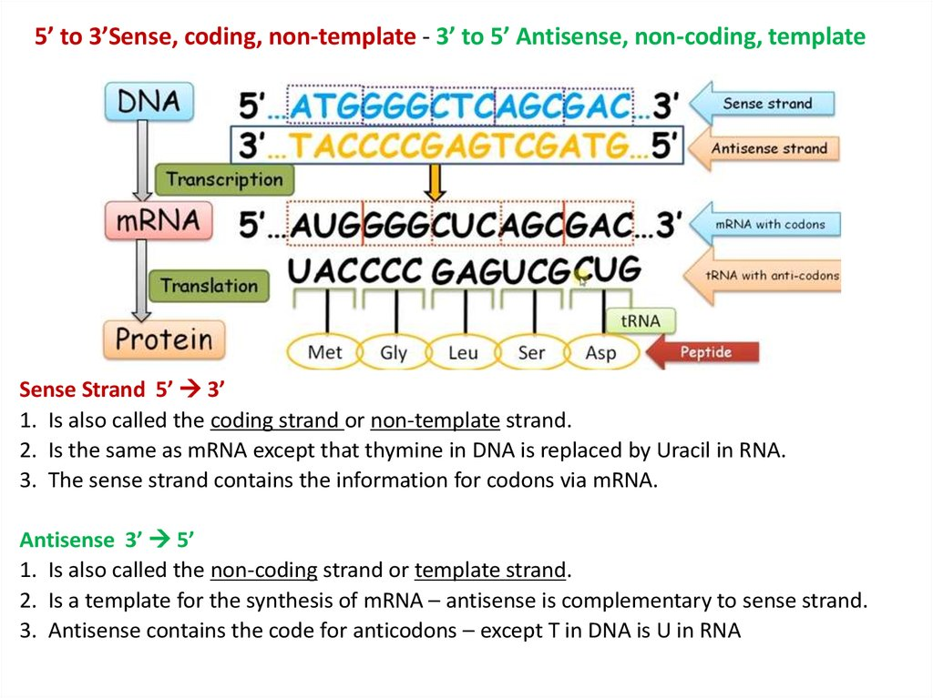 Transcription And Translation And The Genetic Code Online Presentation