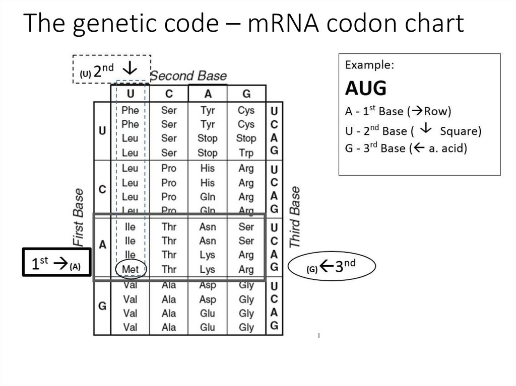 translation of the dna code essay On the other hand, the transfer rna or trna finds amino acid in the cytoplasm  and attaches it to the mrna template based on the genetic code transcribed.