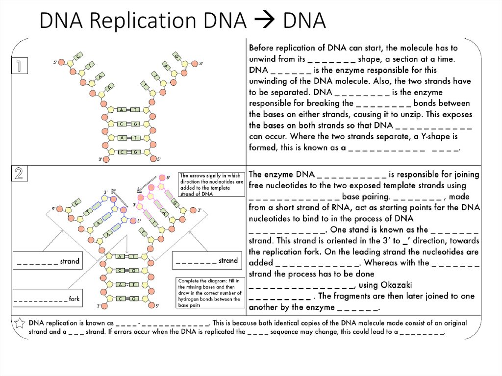 DNA Replication DNA  DNA
