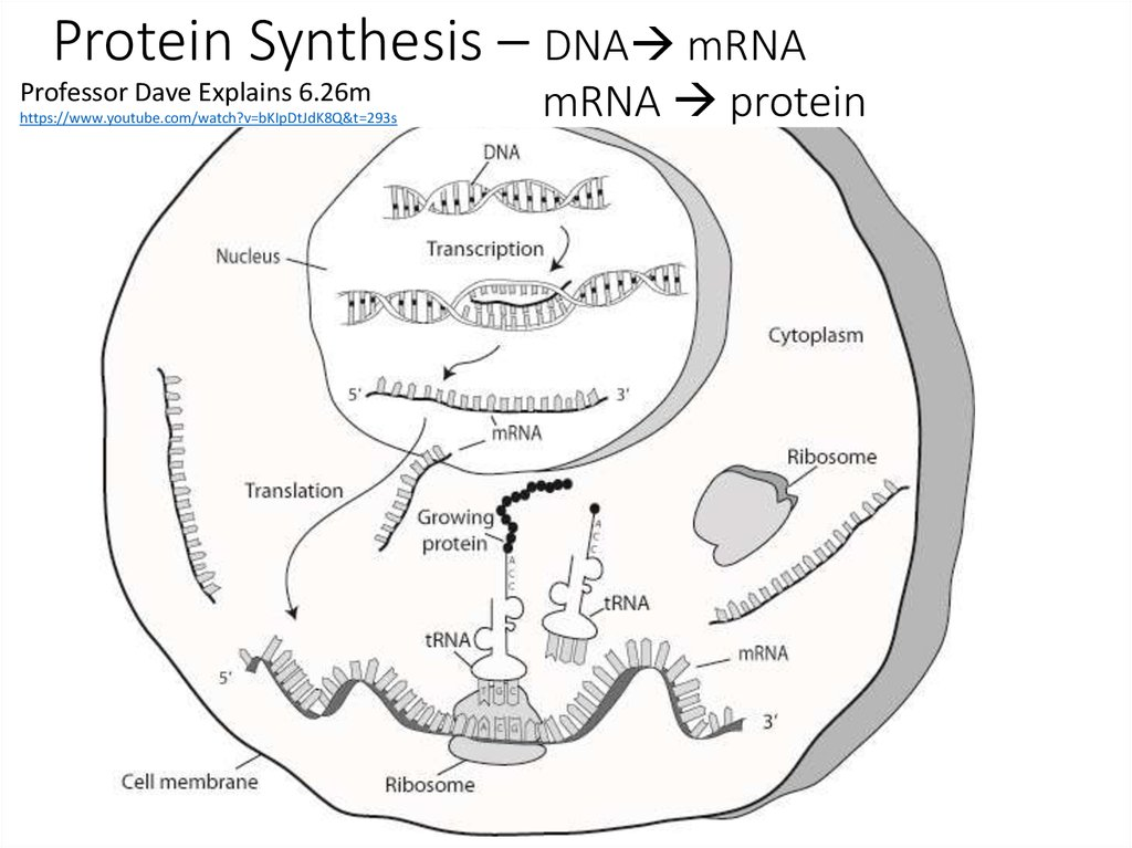 Protein Synthesis – DNA mRNA mRNA  protein
