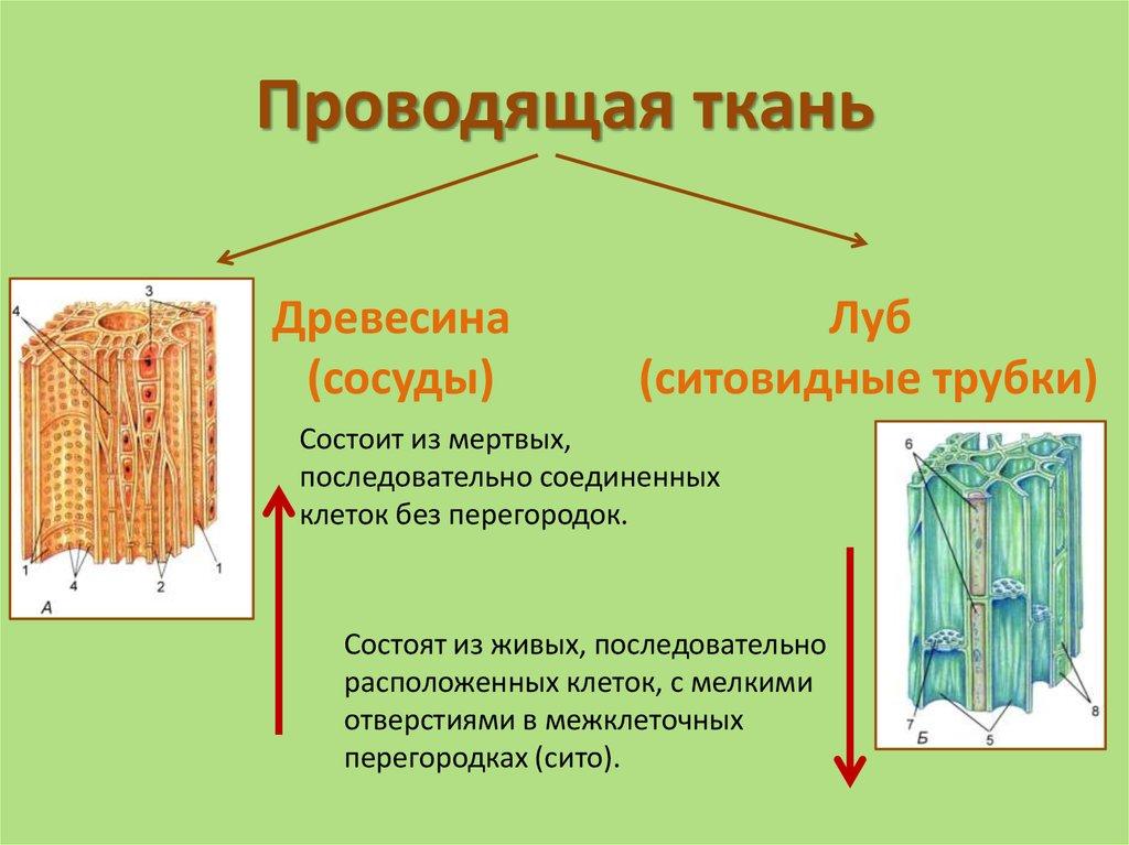 Картинка проводящие ткани растений