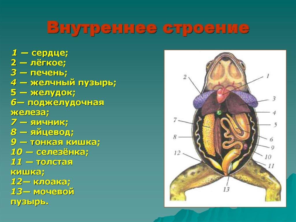 внутренне строение лягушки картинки самое