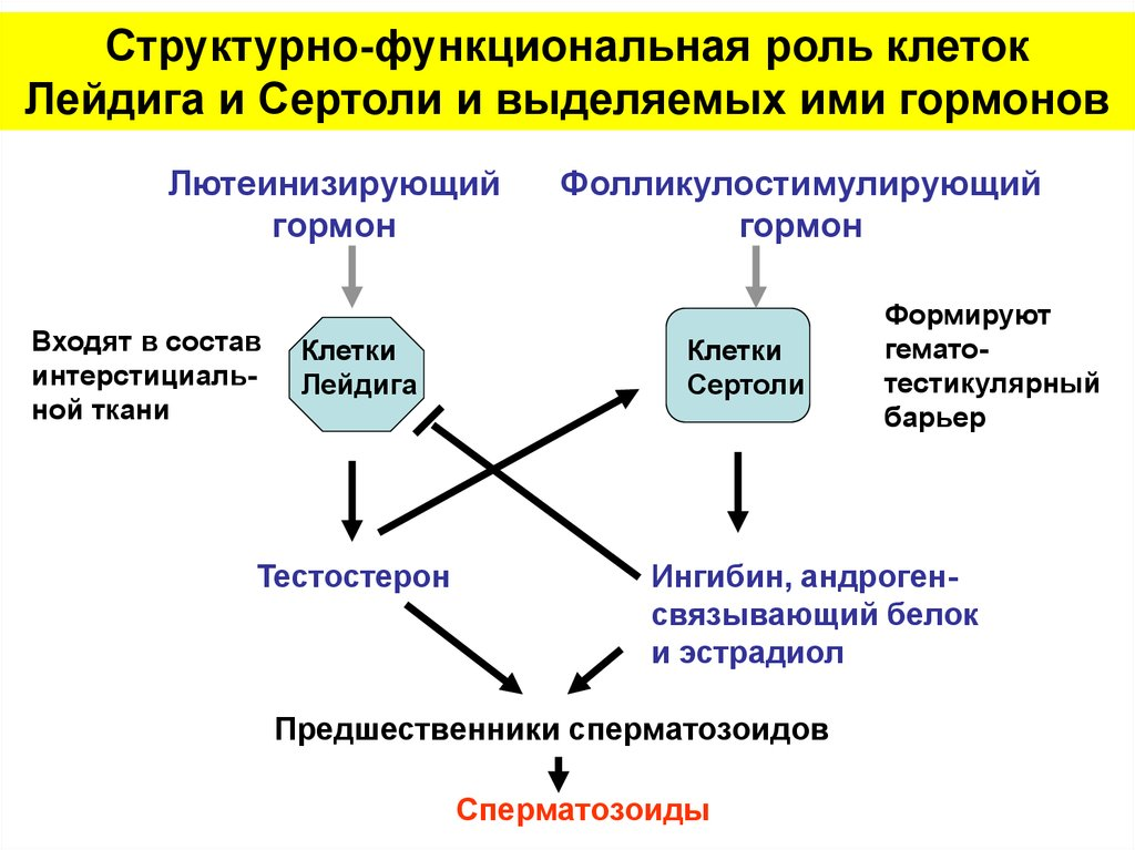 Сперматогенез после химиотерапии