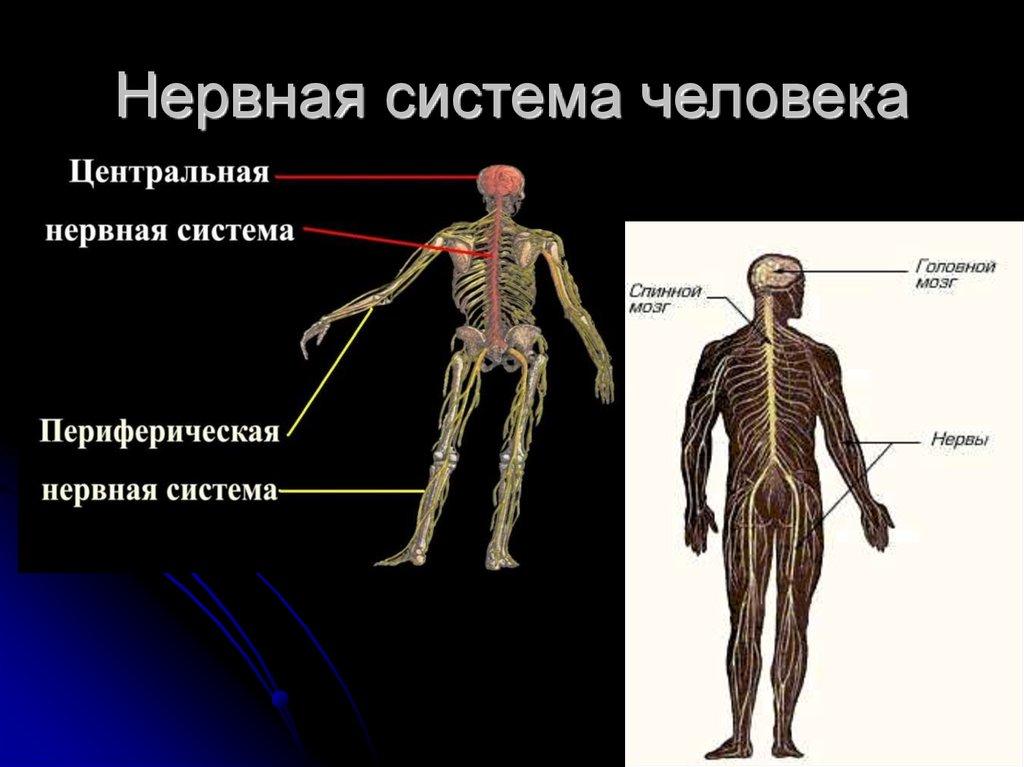 нервная система человека реферат картинки нашем
