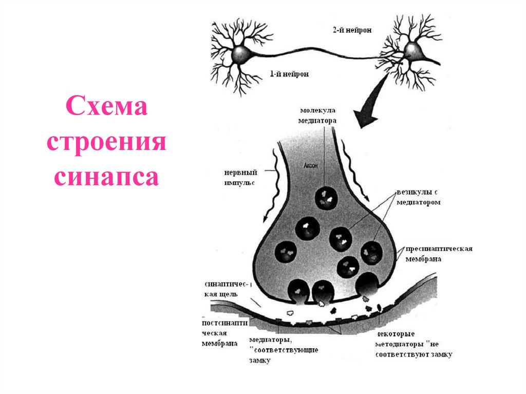 схема строения синапса днем рождения поздравлениями