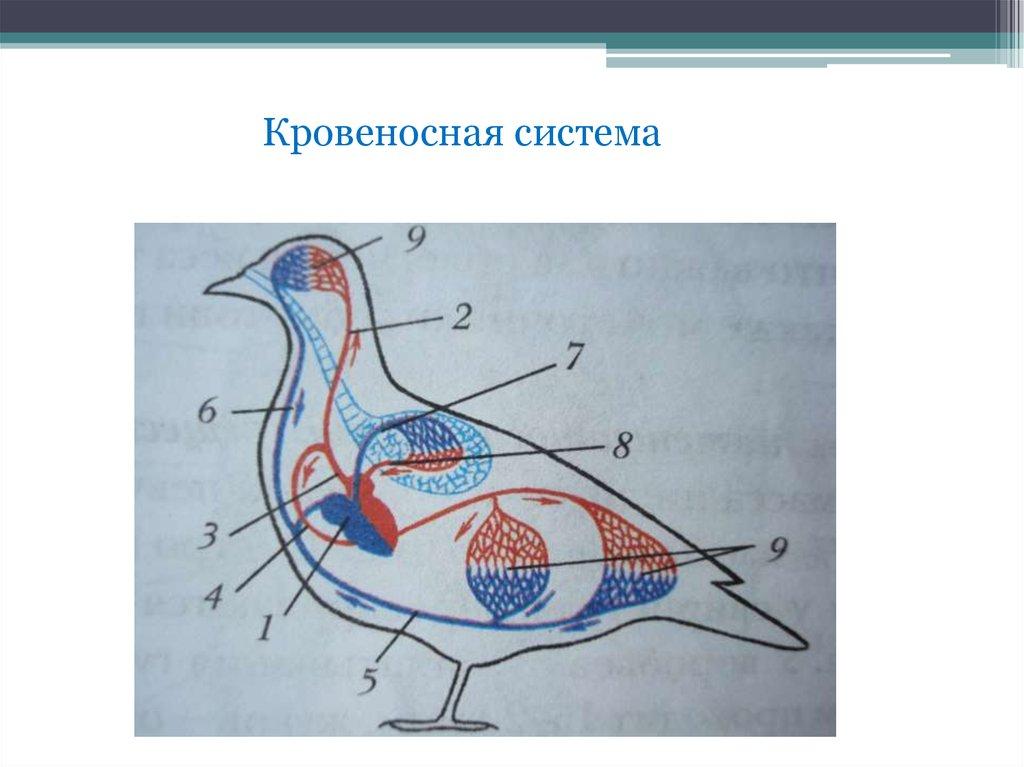 делением картинки кровеносная система птиц кого-то это