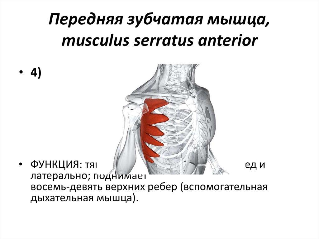 передние зубчатые мышцы фото сама