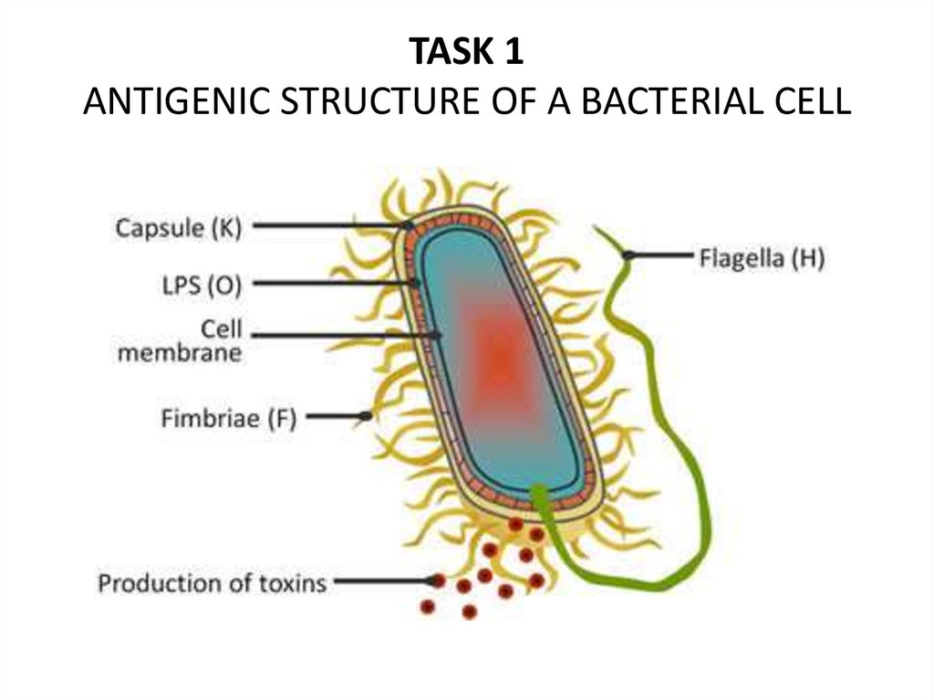 TASK 1 ANTIGENIC STRUCTURE OF A BACTERIAL CELL