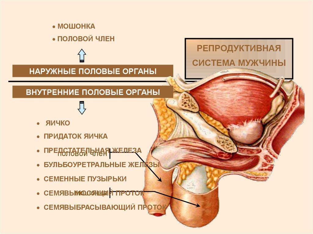 Медицина физиология половой член мужчины