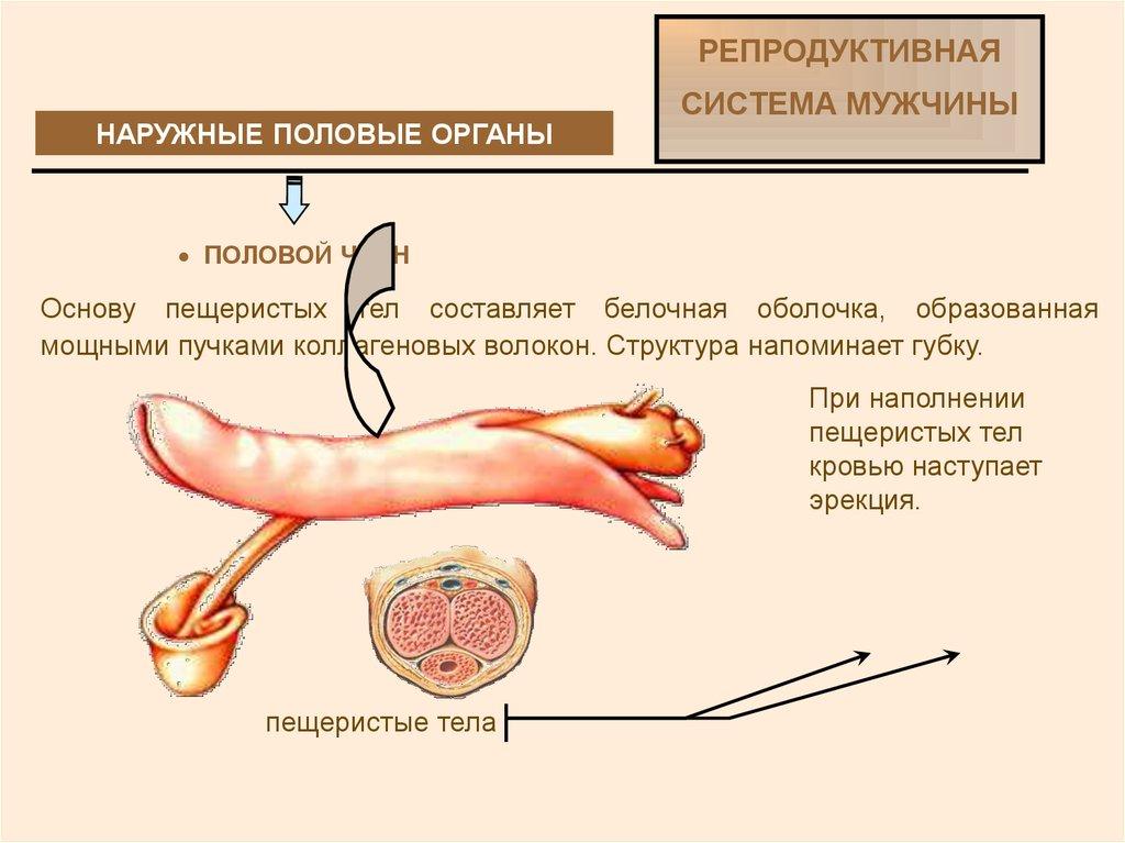 Увеличение пениса происходить в момент мастурбации или в момент его отсутствия