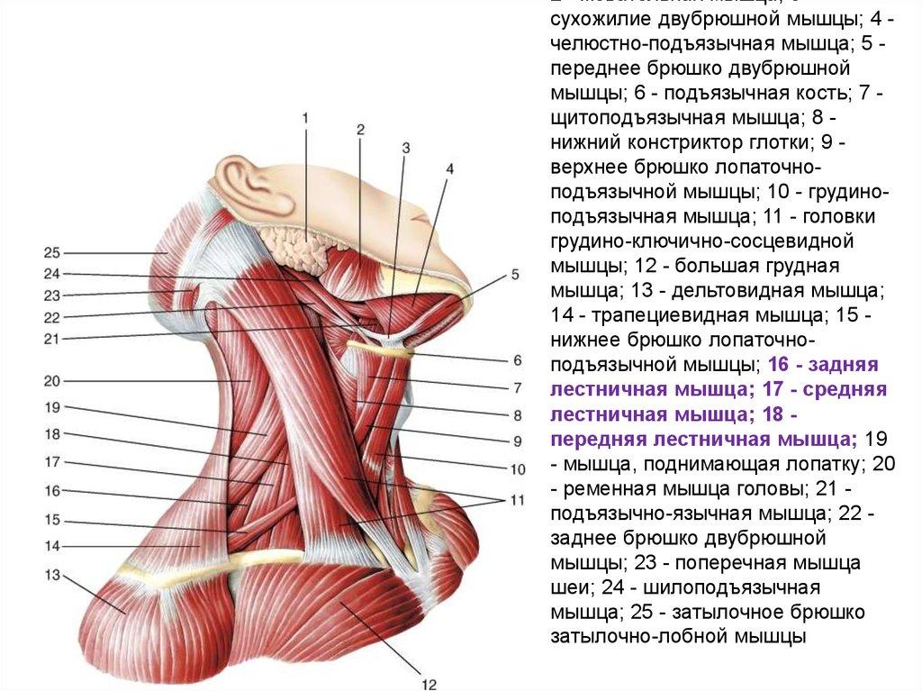 Атлантозатылочный сустав мышцы отёк коленного сустава после ушиба