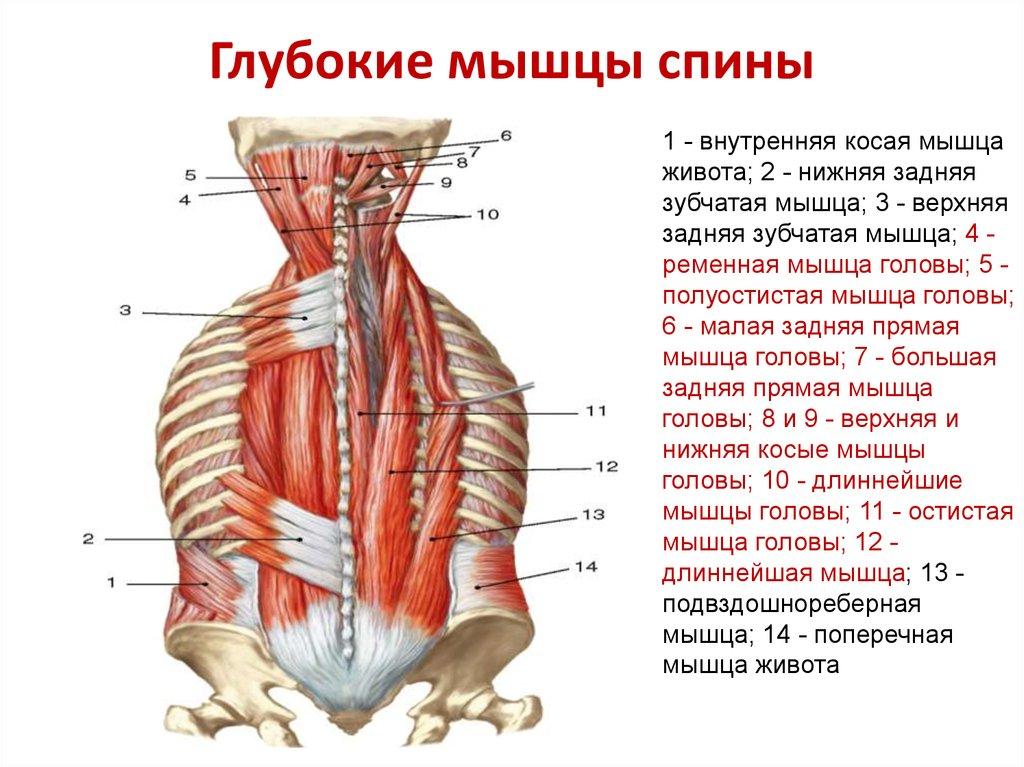 Мышцы спины и их функции с картинками