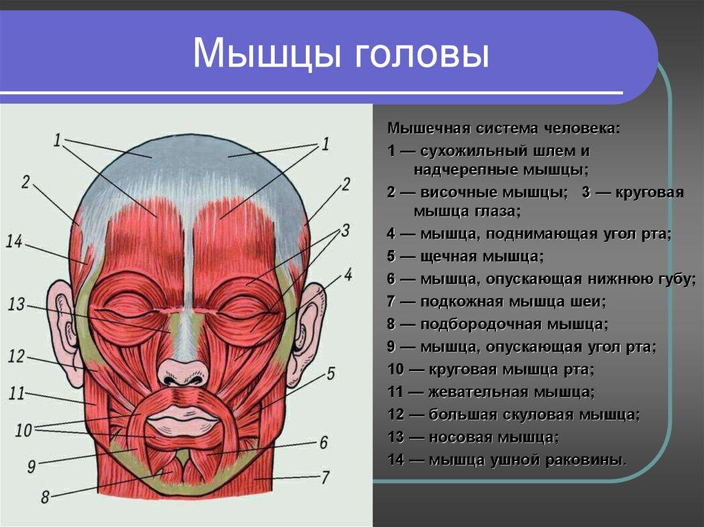 картинки мышц головы