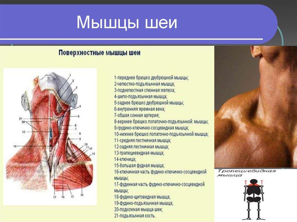 модели мышцы шеи фото с описанием и схемами выпадают