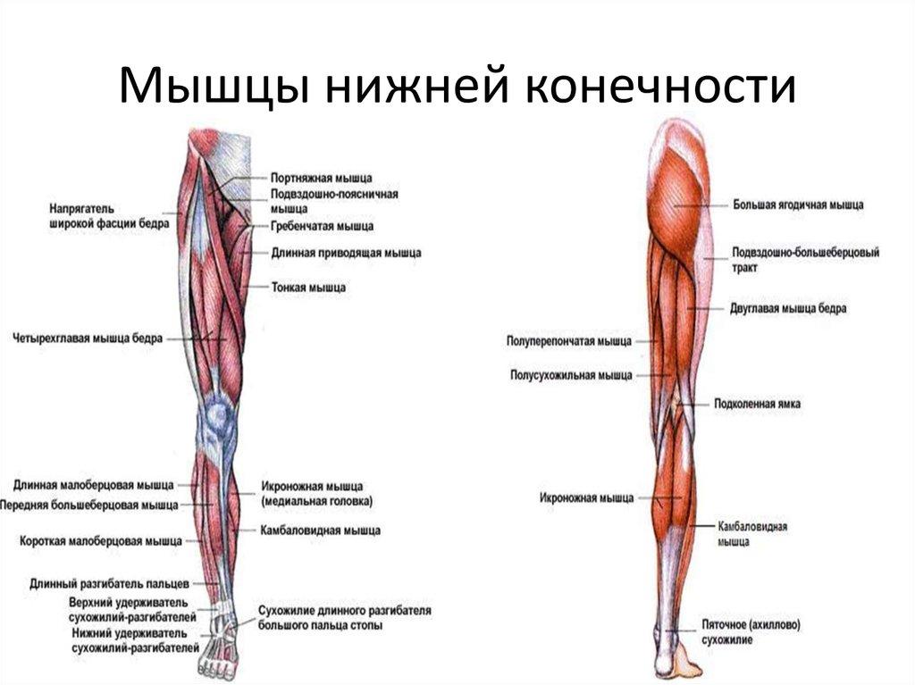 названия мышц ног с картинками как уже было